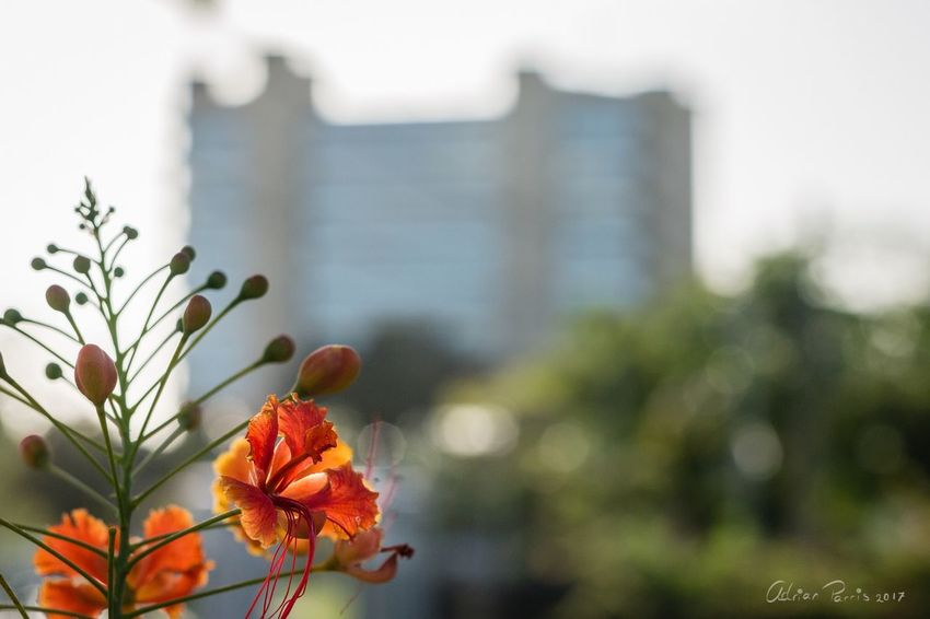 Pride of Barbados. The national flower with the local central bank in the background. Barbados Economy Economic IMF