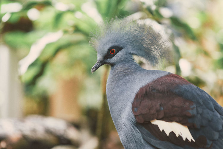 Jurong Bird Park Bird Avian Animal Themes Animal Vertebrate Animals In The Wild Animal Wildlife One Animal Focus On Foreground Close-up Pigeon Day Nature No People Perching Gray Outdoors Tree Beak Zoology Looking Profile View Feather