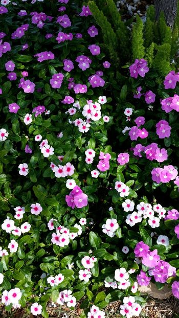 Flower Nature Beauty In Nature No People Flower Head Outdoors Day Backgrounds Freshness Petunias Pink Color Pink Pink Flowers Flowers High Angle View Groundcover Background Full Frame Full