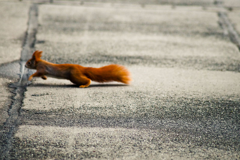 Side view of red squirrel running on footpath