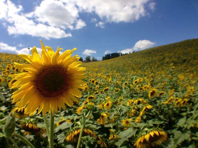 Flowers Tournesols Fieldscape France Sunflower Sunflowers🌻 Sunflowers Colour Of Life