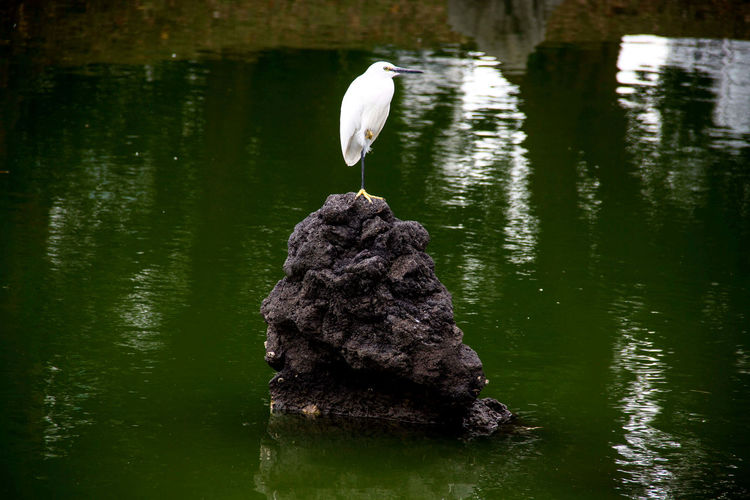 Bird in Hamarikyu, Tokyo (Japan) Beauty In Nature Bird Bird In Park Bird On Rock Bird Photography Lake Nature One Animal