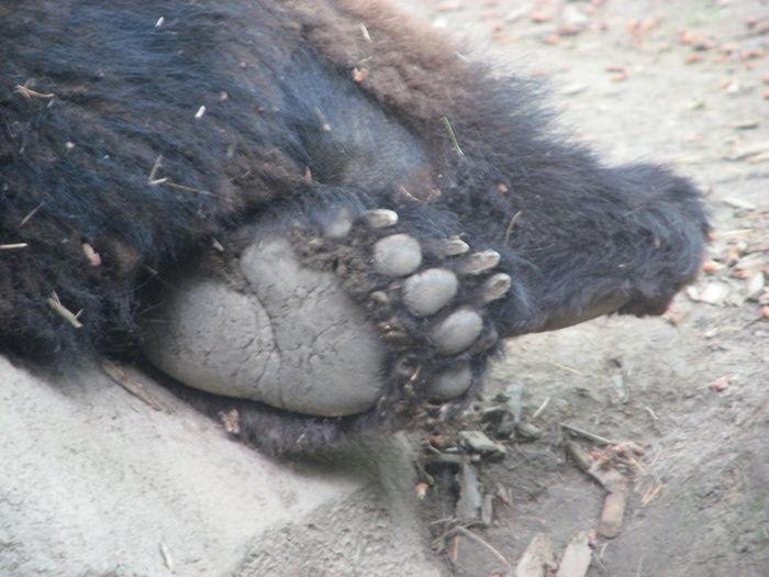 Animals Bear Bear Claw Black Bear Brown Bear Captivity Foot Furry Furry Friends Sleeping Bear Zoo