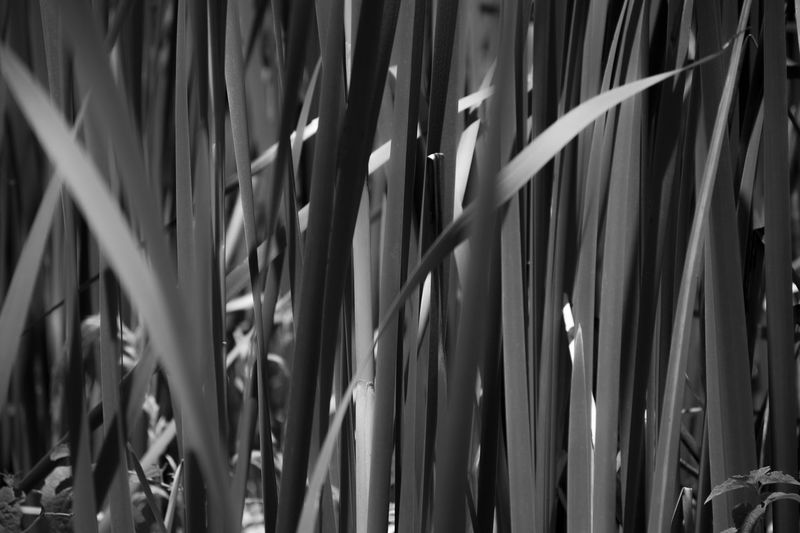Blackandwhite Close-up Grass Grass Field Nature Outdoors Plant Seethrough