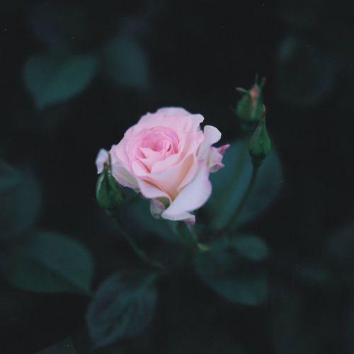 Roses Rosé Rose - Flower Pink Rose Matilda Matilda Rose Hasselblad Hasselblad 500C/M Film Kodak