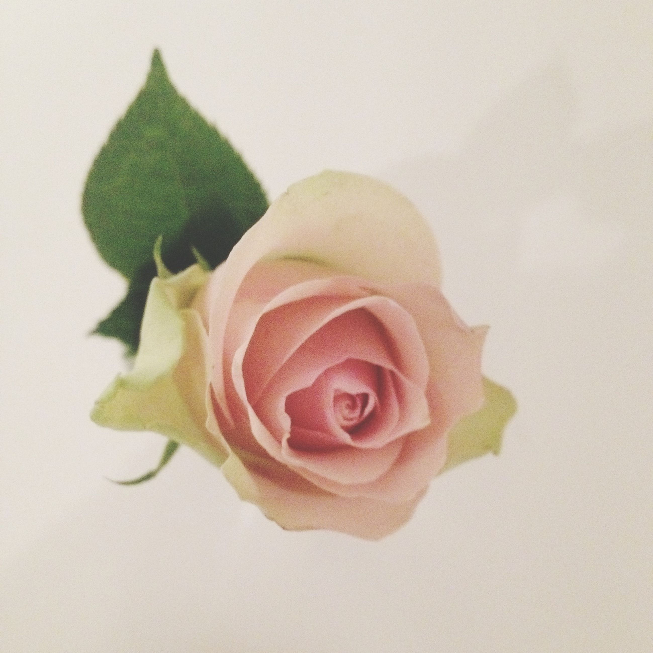 rose - flower, flower, freshness, petal, white background, flower head, indoors, close-up, fragility, rose, studio shot, pink color, still life, beauty in nature, single flower, red, high angle view, no people, leaf, pink