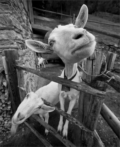 Sociable goats on an alpine farm. Farm Life Goats Goats And More Goats Sociable Goats Alpine Farm Animal Themes Close-up Day Domestic Animals Goats Head Goats Life Goats On The Farm Goats, Goatslife Livestock Mammal No People Outdoors Pets Young Animal