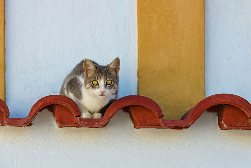 A cute bicoloured cat resting on a decorative red roofing tile watching curiously, Greece. Cats Of EyeEm Geometric Shapes Housecat Red Wall Design Animal Animal Themes Bicolour Cat Cat Cat Portrait Coloured Composition Cute Cats Domestic Cat Exterior Wall Feline Geometric Greece Kitty Cat Pets Portrait Pussycat Roofing Tiles Tabby White Yellow