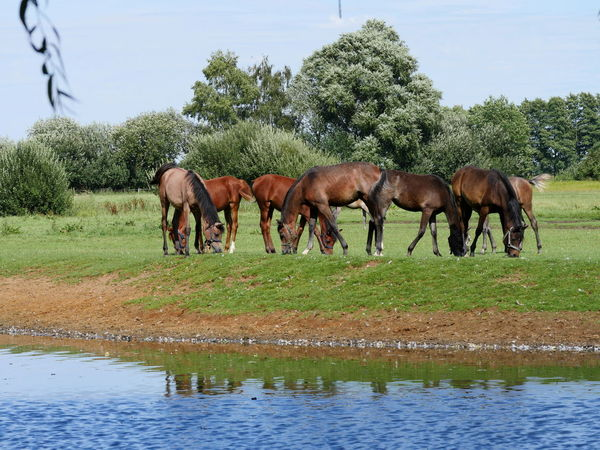 Foals Grazing Horses Nature Outdoors Reflection Rural Scene Tranquil Scene Water Animal Themes No People Non Urban Scene Herbivorous Animals Landscape Grassy Pasture Taking Photos From My Point Of View Domestic Animals Mammal Rippled Beauty In Nature