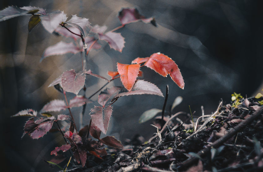 Helios Hungary Hungary🇭🇺 Vintage Photography Vintage Style Beauty In Nature Branch Close-up Day Fragility Freshness Growth Helios44m Manual Focus Lens My Best Place Nature No People Old Lens Old Lenses Outdoors Spiky Leaf Tokod Vintage Lens On Modern Camera Vintage Lens Photography Vintage Lenses Lover