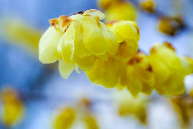 Flower Nature Yellow Beauty In Nature Freshness Blooming Flower Head Beautiful View Beautiful Nature Naturelovers Nature Is Art Nature Photography Petal ロウバイ