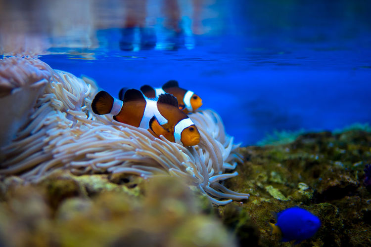 Close-up of clownfish swimming in water