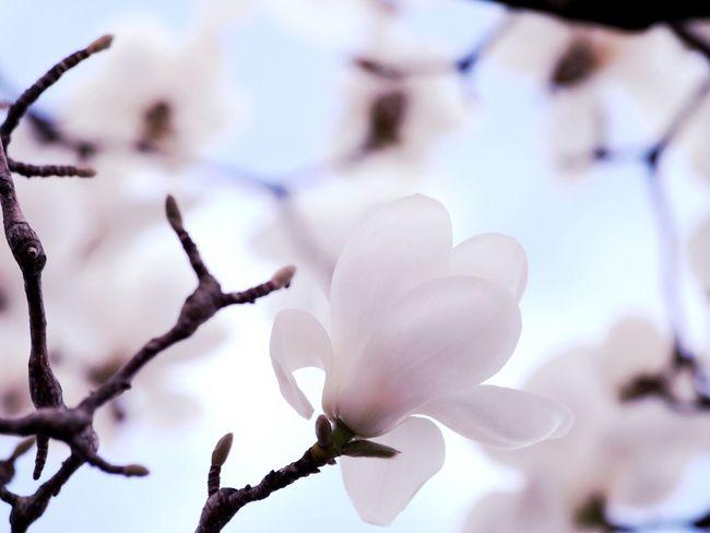 magnolia. Magnolia Magnolia_report_2017 Miyagi,japan