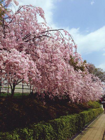 少し遅咲きな種類のようてす。まだ満開(^ー゜)なんていう桜?でしょうか? さくら Enjoying The Sun Flower