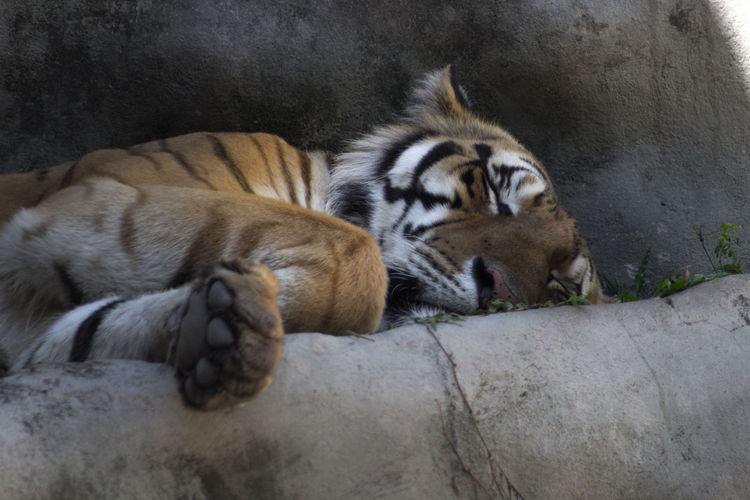 Animal Themes Animals In The Wild Cub Day Domestic Animals Endangered Species Feline Focus On Foreground Looking At Camera Mammal No People One Animal Pets Relaxation Resting Whisker Wildlife Zoology