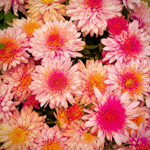 essence of Summer Backgrounds Close-up Nature Serenity In Nature Pink Flowers Fall Beauty Looking Down Summer Vibes Dreamy Flowers Freshness Nature Plant Chrysanthemum Abundance Fragility Flowering Plant High Angle View Beauty In Nature