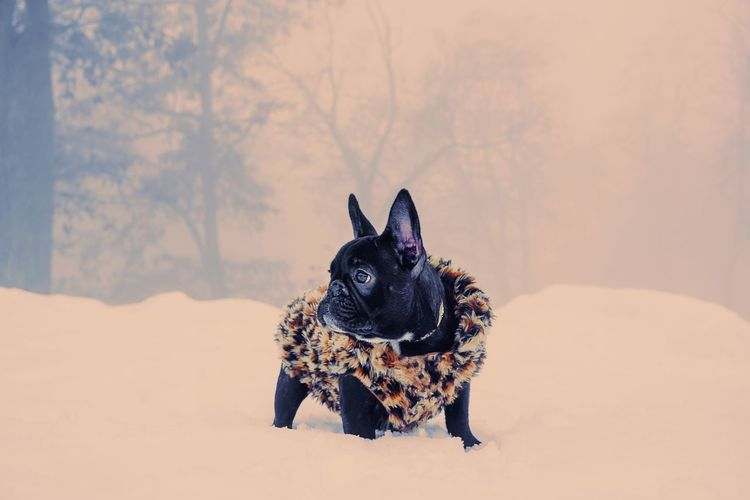 🎨 Winter Frenchie French Bulldog Frenchbulldog Bouledogue Francais Fog Foggy Domestic Animals Animal Themes Animal One Animal Canine Pets Portrait Dog Ear Looking At Camera Leopard Puppy Pet Clothing Purebred Dog