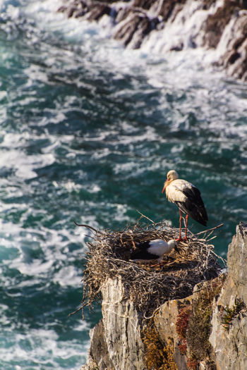 Störche in Portugal. Stork Stork Nest Storch Storchennest Portugal Algarve Algarve, Portugal Portugal_em_fotos Naturschutzgebiet Artenschutz Naturwunder Nature Reserve Naturgewalt Naturerlebnis Felsen Klippen Cliff Brandung Ozean Atlantic Ocean Birds Vogel Vogelfotografie
