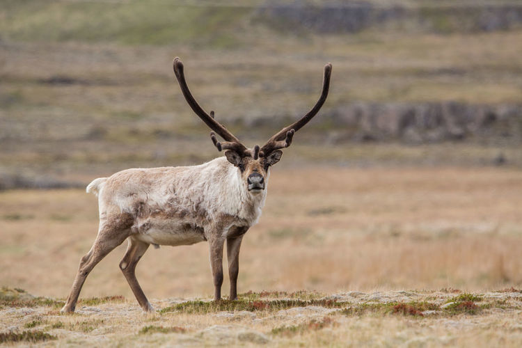 Side View Of Stag Standing On Field