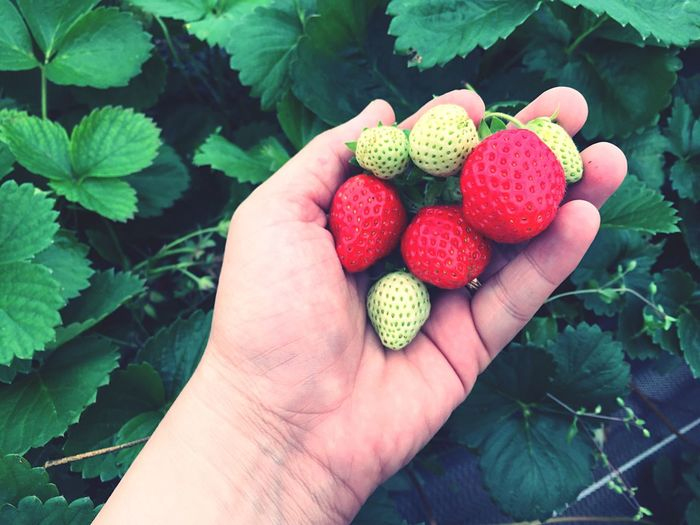Cropped hand of person holding strawberries by plants