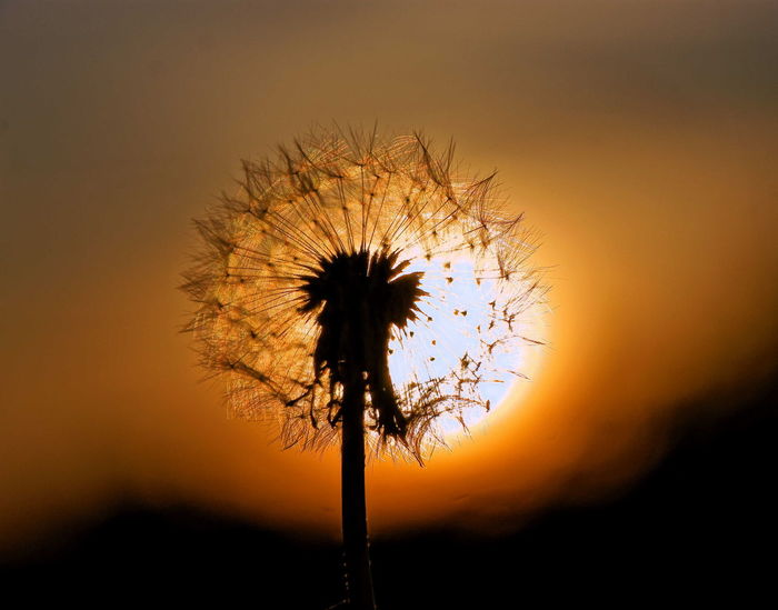 Dandelion and Sun Sunset Nature No People Beauty In Nature Outdoors Sky Evening Flower Flowers Capture The Moment EyeEm Best Edits Beautiful Beautiful Nature EyeEm Best Shots - Nature Природа EyeEm Nature Lover Hello World EyeEm Gallery Sun Sunset Colors EyeEm Nature Collection Park Eyeem Photography Taking Photos Flowers, Nature And Beauty Paint The Town Yellow