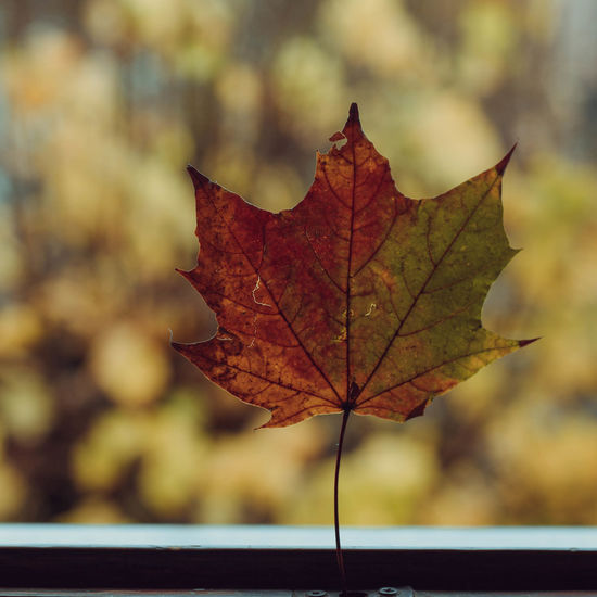 Close-up of maple leaf against blurred background