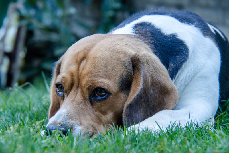 Dreaming Grass Marierichphotography Olympus Animal Themes Beagle Close-up Day Dog Dog Eye Dog Lying On Grass Domestic Animals Dreaming Dog Eyes Garden Grass Lying Down Mammal No People One Animal Outdoors Pets Relaxation
