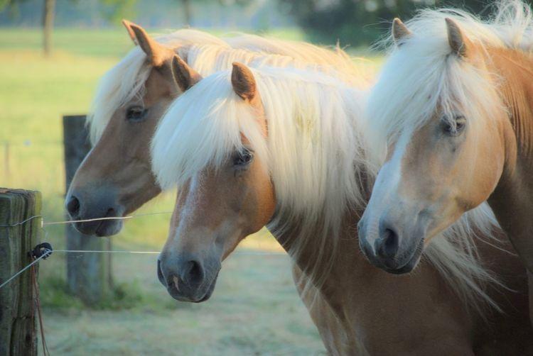 Lovely Haflinger Horses. 🐴❤️ EyeEm Best Shots Animals Eye4photography  Horse Nikon Nikonphotography EyeEm Best Edits