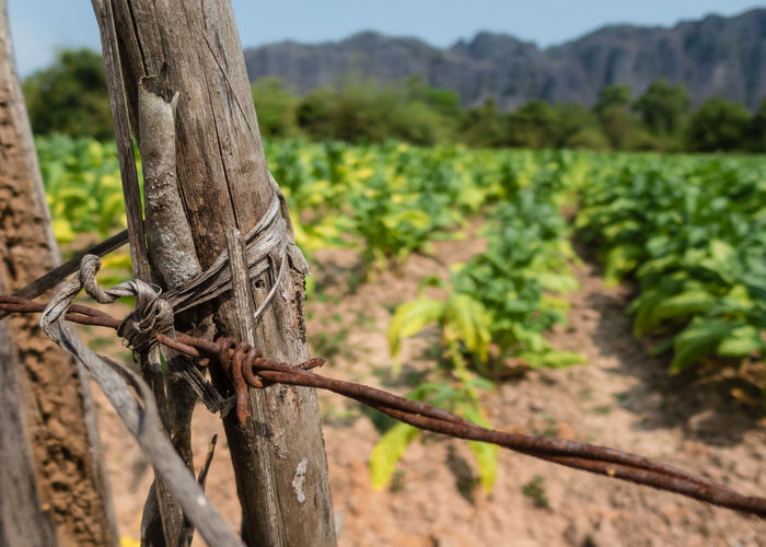 Animal Themes Barbed Wire Beauty In Nature Close-up Day Farm Farmland Fence Focus On Foreground Growth Laos Nature No People Outdoors Tree
