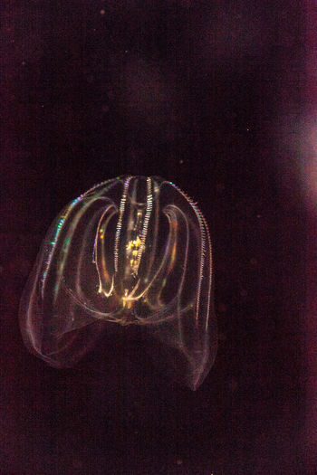 Comb jelly Phylum Ctenophora do not have stinging cells and have a simpler reproductive system than most jellies. Close-up Comb Jellyfish Gorgon Illuminated Indoors  Irridescent Jellyfish Jellyfishes No People Phylum Ctenophora Sea Life Translucent Translucent Light UnderSea