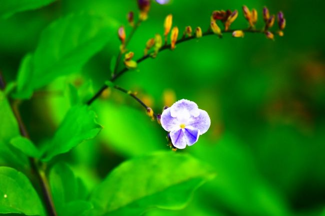 Beauty In Nature Close-up Day Flower Flower Head Flowering Plant Fragility Freshness Green Color Growth Inflorescence Leaf Nature No People Outdoors Petal Plant Plant Part Purple Selective Focus Springtime Vulnerability