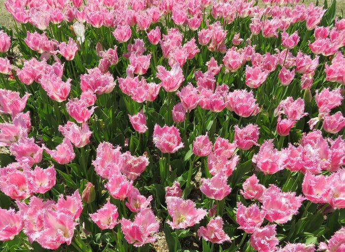 チューリップ 花 はな