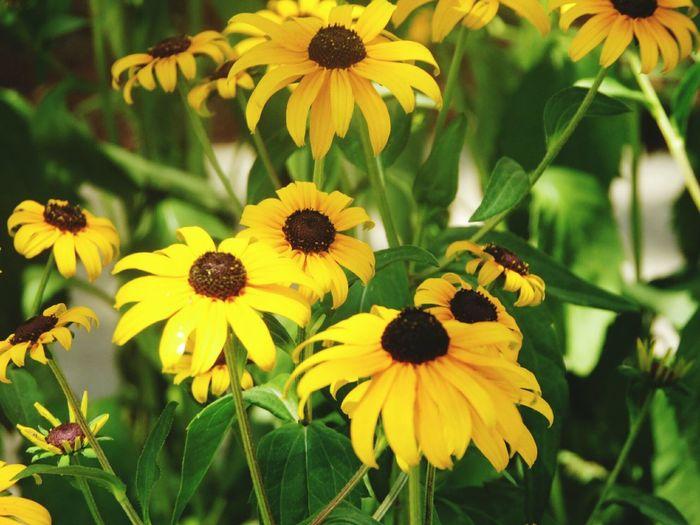 My neighbors flower garden on E. Lovejoy St & Bailey Ave Floral Flowers,Plants & Garden Urban Gardens Black Eyed Susans The Great Outdoors - 2017 EyeEm Awards