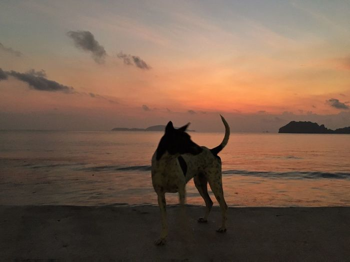 Dog standing on beach during sunset