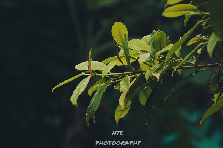 Rain Plant Leaf