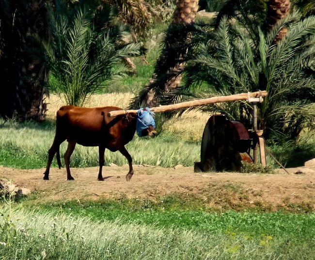 am Ufer des Nils Animal Themes Bewässerung Cow Day Domestic Animals Feldarbeit Stupid Working Wasserpumpe