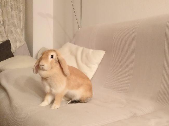 I love my pet, Tara ❤Animal One Animal Pets Domestic Animals Rabbit ❤️ Rabbit Portrait Eye4photography  Indoors  Home Sweethome Eyemphotography EyeEmbestshots Eyem Gallery EyeEm Best Edits EyeEmBestPics