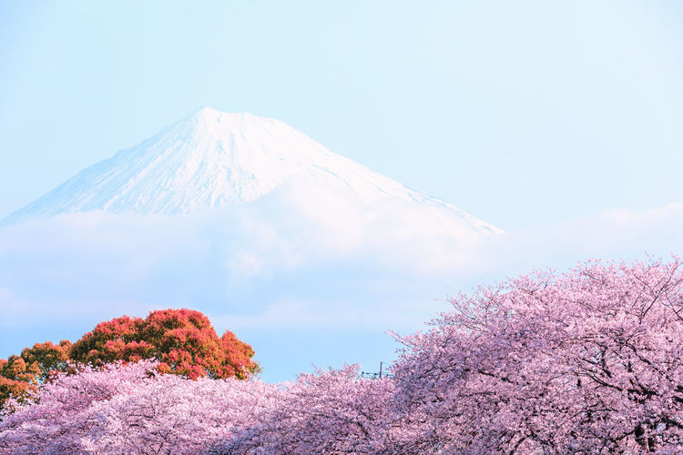 Beauty In Nature Mountain Volcano Tree Scenics - Nature Nature Tranquil Scene Tranquility No People Plant Day Cloud - Sky Winter Cold Temperature Snow Low Angle View Land Mountain Peak Non-urban Scene Outdoors Snowcapped Mountain Cherry Blossom Springtime Sakura Blossom Japan Photography