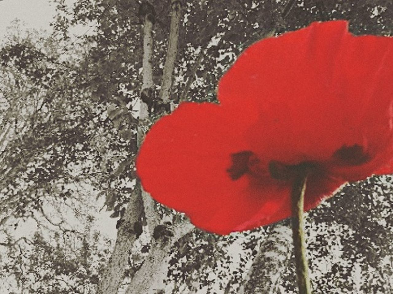 red, flower, close-up, petal, no people, fragility, flower head, nature, beauty in nature, day, poppy, freshness, outdoors