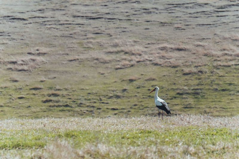 Stork Storks In The Wild Bird Animal Themes Animals In The Wild Animal Wildlife One Animal Grass Field Nature Day Outdoors No People Hills Spring Non-urban Scene Beauty In Nature Simplicity Minimal Minimalism Grass Nature Green Color Standing Minimalobsession