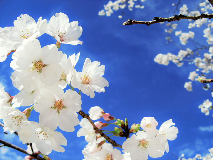 Beauty In Nature Blossom Blue Blue Sky Branch Cherry Blossom Cherry Blossoms Close-up Day Flower Flower Head Fragility Freshness Growth Nature No People Outdoors Sky Springtime Stamen Sunlight Tree