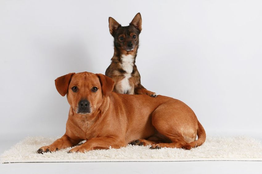 two cute dogs in the studio Labrador Lying Sitting Studio Animal Themes Brown Chihuahua Day Dog Domestic Animals Indoors  Looking At Camera Mammal Mixed No People Pair Pets Portrait Sitting Small Two Animals White Background