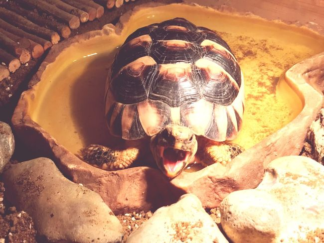 A tortoise who thinks he is a turtle, soaking in his water bowl. Nature Tortoise Shell Tortoise Water No People Capture The Moment The Here And Now Beauty In Nature Mouth Open Reptile Water Bowl Exclamation Shouting Out  Tongue Mouth
