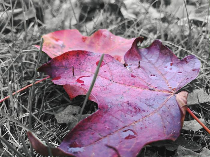 Red Day Sunset Sun Cold Temperature Winter Springtime Backgrounds Beauty In Nature Beauty Simple Night Blurred Background Leaf Autumn Pink Color Change Close-up Plant Fallen Petal Fall In Bloom Single Rose Leaves Maple Leaf Wilted Plant Fallen Leaf Maple Pollen Pink