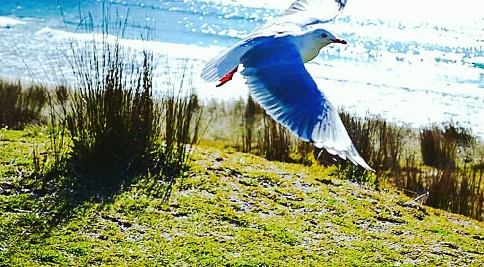 Mid flight Bird Flying Spread Wings Animals In The Wild Nature Outdoors Beauty In Nature One Animal Animal Themes Wings Wingspan Seagull Seagulls In Flight Grass Day Water No People Fanned Out Nature Photography Animal Photography Animal Wildlife Betterlandscapes EyeEmNewHere EyeEm Best Shots