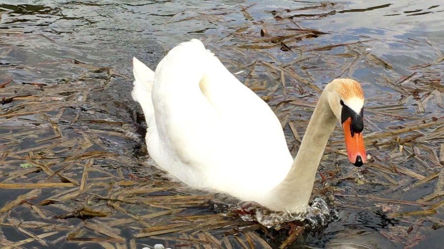 Schwan  Schwäne Schwanenfamilie Swan Swans Swans ❤ Swantastic Swan Series