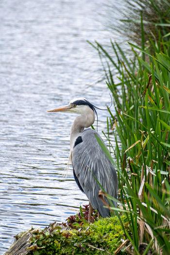 Grey heron, ardea cinerea, on a riverbank