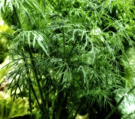 Beauty In Nature Close-up Day Detail Dill Fresh Fresh Dill Garden Green Color Growing Growth Herb Herbs Leaf Lush Foliage Natural Pattern Nature Outdoors Plant