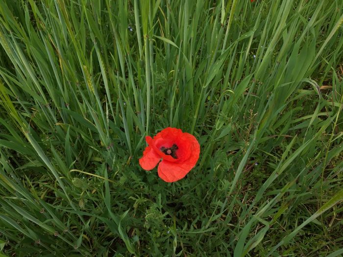 The red secret Growth Field Grass Red Nature High Angle View Flower Poppy No People Plant Beauty In Nature Outdoors Day Freshness Blooming Flower Head Close-up