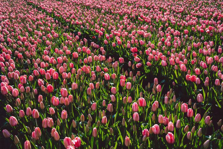 Pink tulips in field